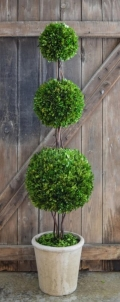 Rental store for BOXWOOD TOPIARY TREE 72 in Tupelo MS